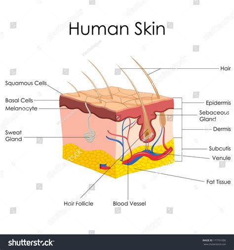 free illustrations of human skin picture 2