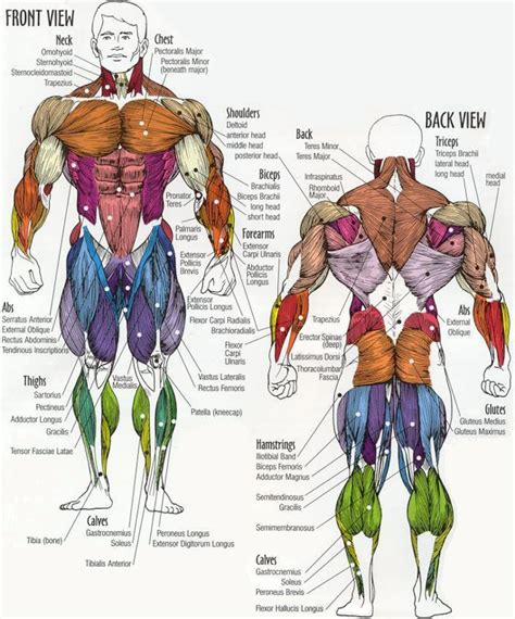 muscle groups picture 3