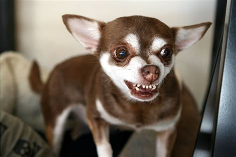 chihuahua h cleaning picture 13