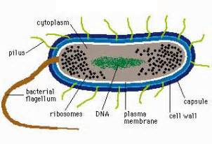 what is bacterial v picture 15