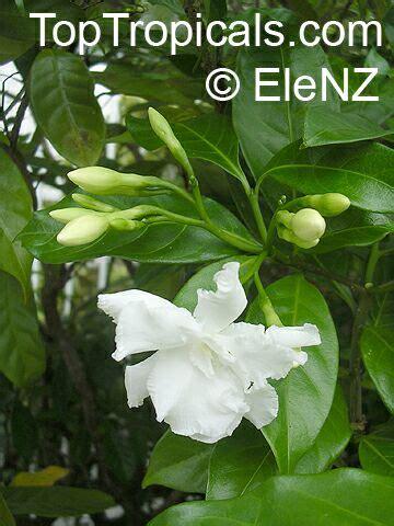 crepe jasmine extract picture 5