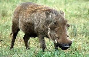 wart hog picture 7