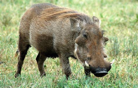 wart hog picture 11