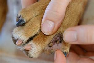 warts on dogs picture 9