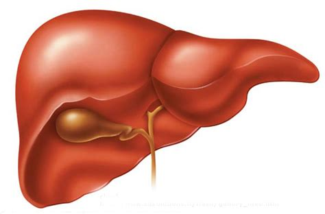 your liver the largest organ picture 1