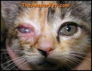 bacterial infections in cats picture 6