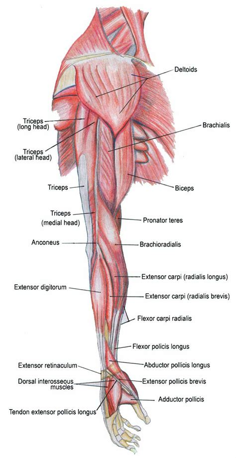 diagram of body muscle picture 15