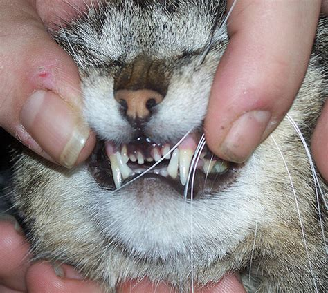 cat that grinds his teeth when he eats picture 11