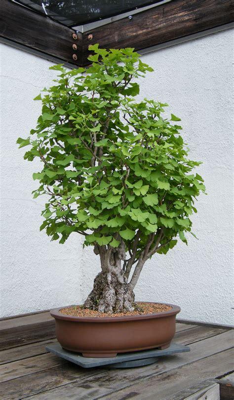 washington state ginkgo tree retailers picture 15