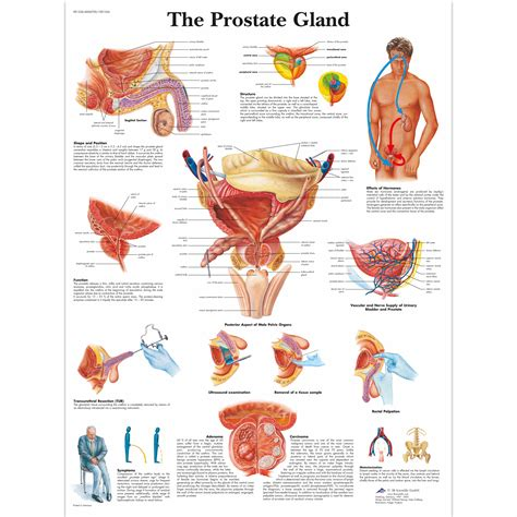 Where is the prostate picture 15
