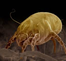 dust mites on skin picture 11