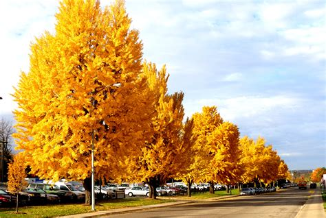 autumn gold ginkgo picture 1
