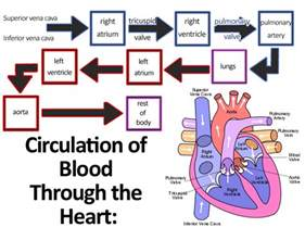 blood flow diagram picture 2