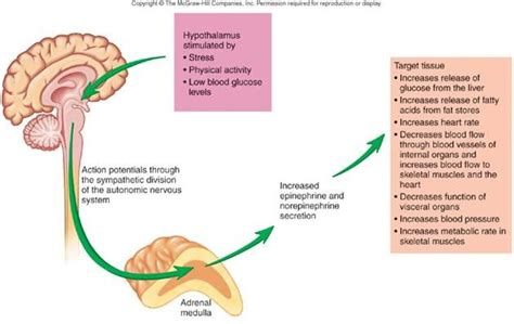 affects of aging on the adrenal cortex picture 11