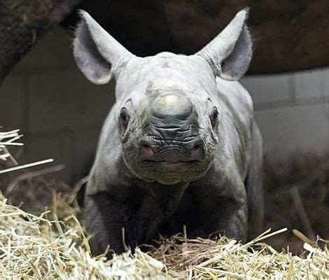 the rhinoceros has a penis about two feet long. picture 6