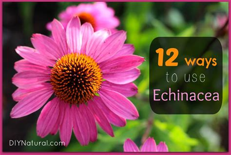 echinacea side effects picture 2