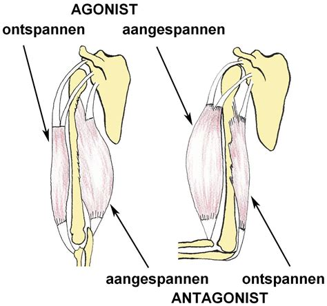 agonist and antagonist muscle picture 9