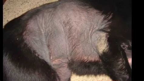 canine skin disease picture 10