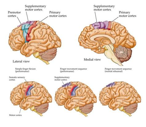 cerebral blood flow motor cortex picture 2