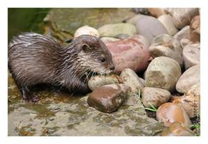 diet baby river otters picture 6