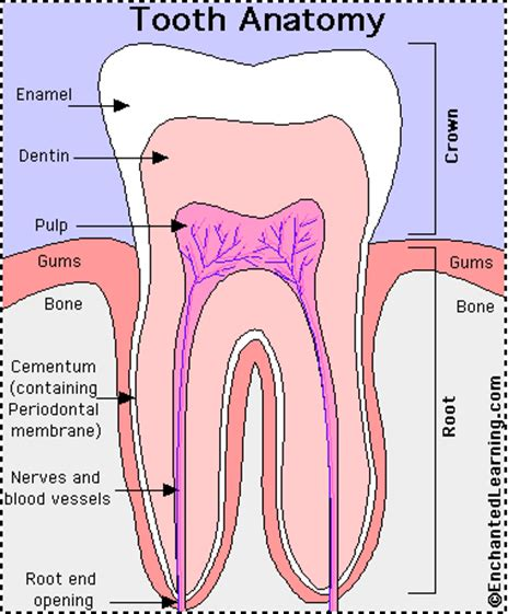 anatomy of the teeth picture 2