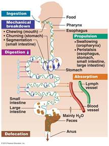 digestion overview picture 13
