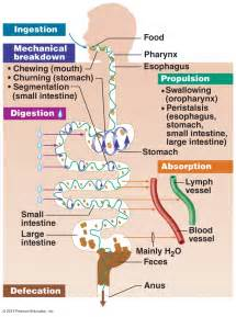 digestion picture 11