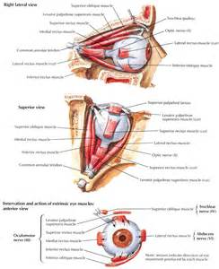 eye muscle picture 9