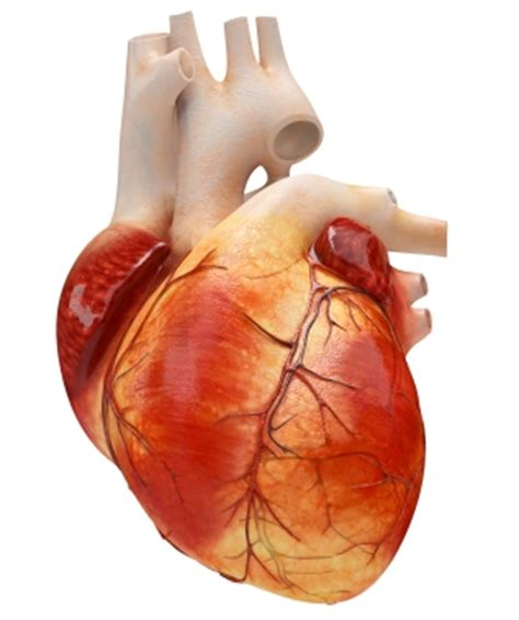 heart muscle picture 14