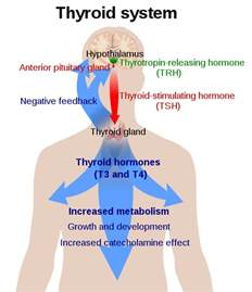 thyroid and weight loss picture 2