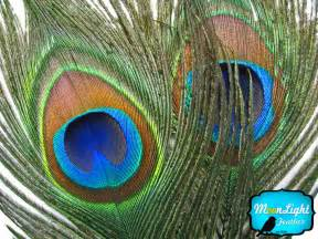 peacock feathers used as a herbal medicine picture 3