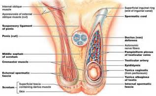 examining male sex organs picture 18