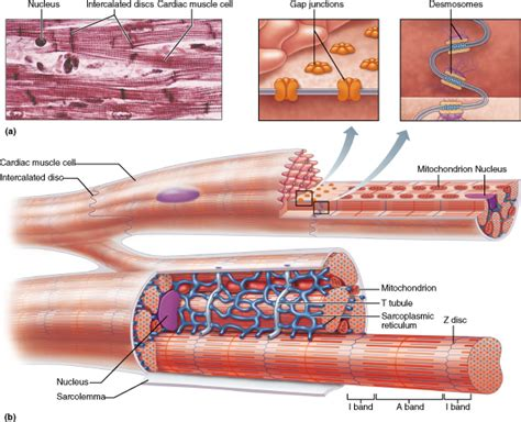 cardiac muscle picture 9