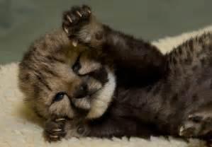 do cheetahs sleep picture 5