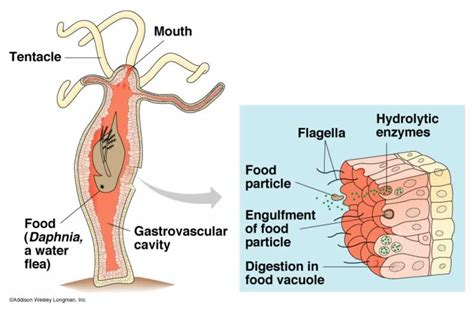 hydra digestion and extracellular picture 3