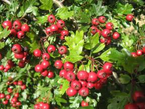 hawthorn berry picture 3