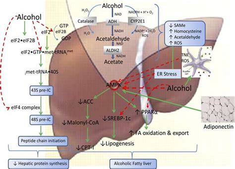 full cirrhosis of the liver picture 2