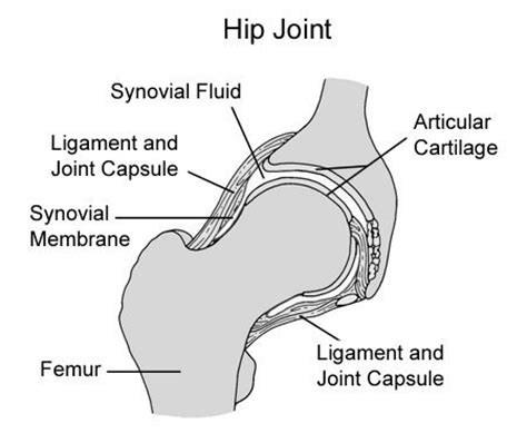 canine hip joint photos picture 1