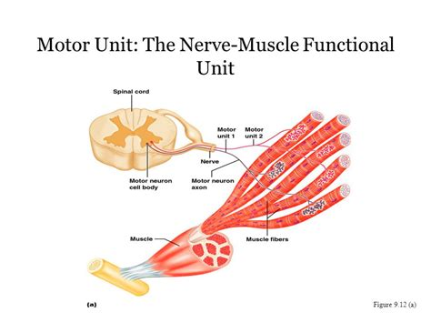 functional unit of the muscle picture 14