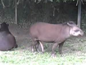 tapir penis picture 14