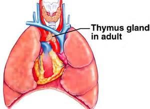thymus gland picture 6