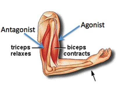 agonist and antagonist muscle picture 2
