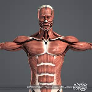 anatomy muscle model picture 18