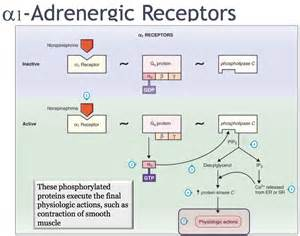 alpha receptors and skeletal muscle picture 7