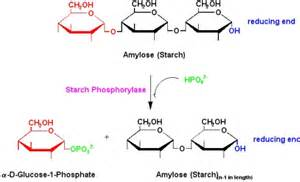 acid hydrolysis of starch picture 19