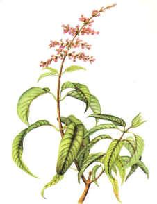 egypt plant stimulants picture 7