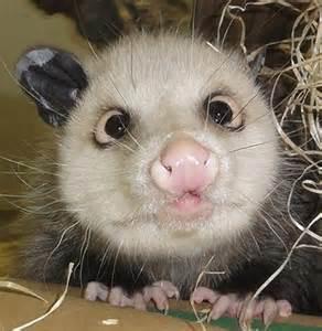 pictures of opossum h picture 13