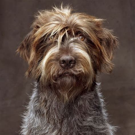 wire hair pointing griffon picture 14