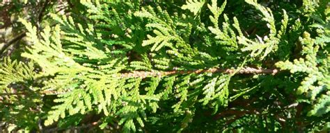 thuja and joint pain picture 9