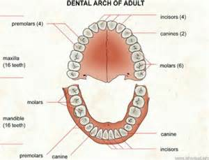diagram of teeth picture 6